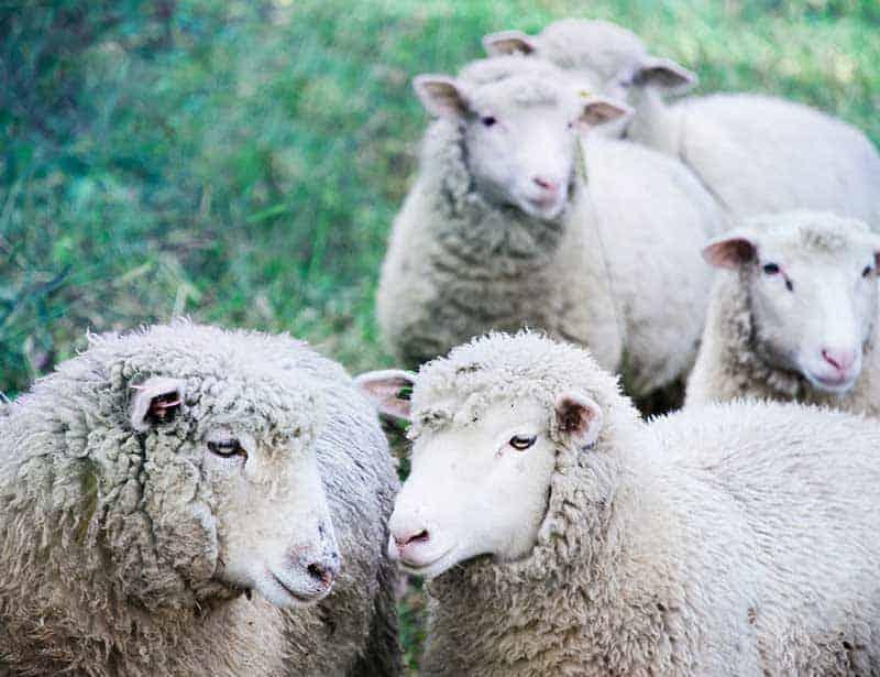 sustainable wool