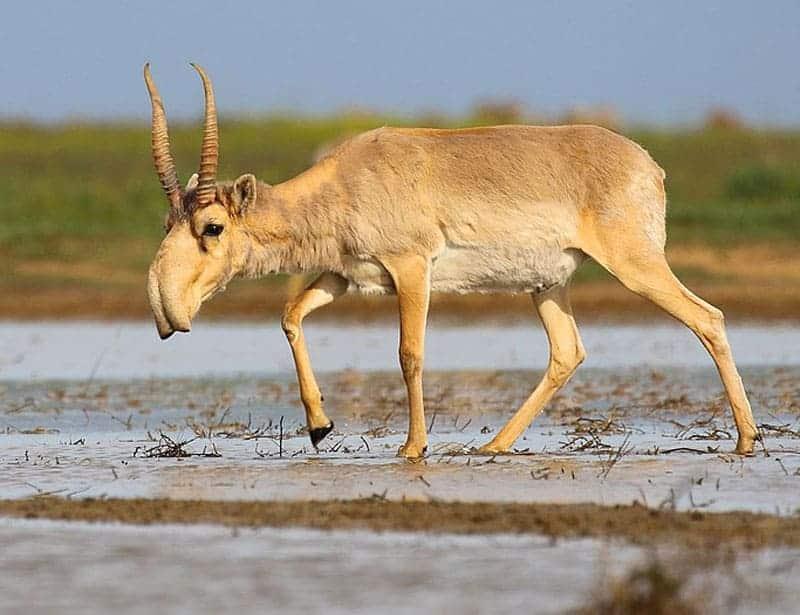 Antelope Saiga