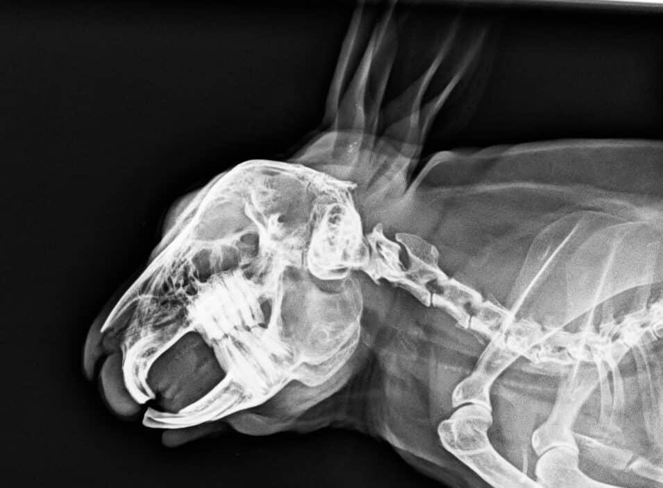 Nyúl koponya röntgen