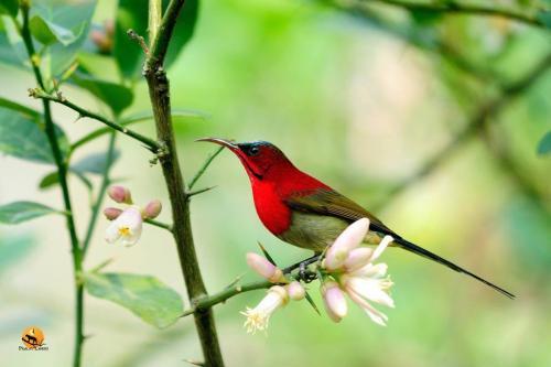 A Crimson Sunbird in Chukchuki Watchtower or Chukchuki Birding Point
