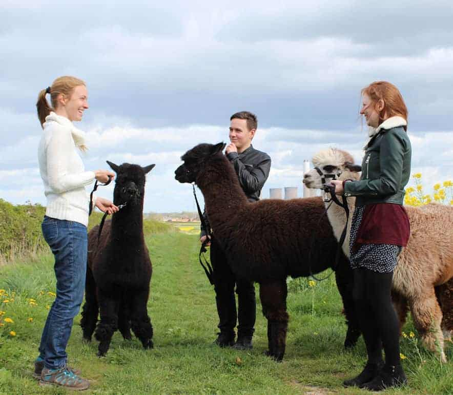 Group of people holding alpacas and laughing