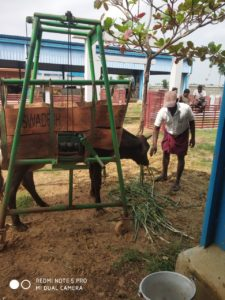 aged-gho-matha-in-cow-lifting-equipment