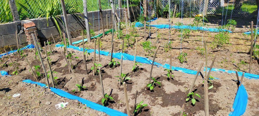 Plantación de pimientos