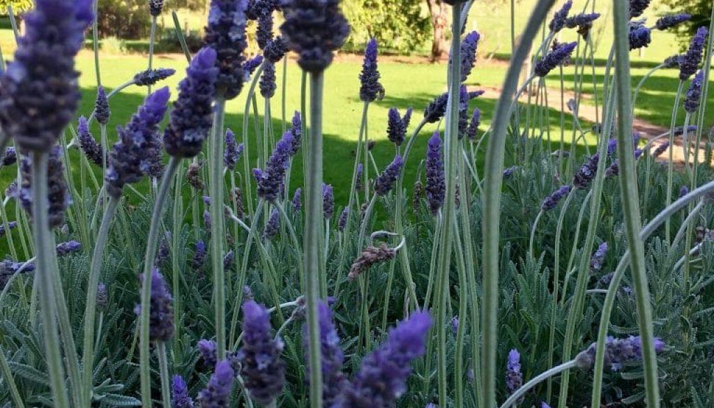 LD Lavender