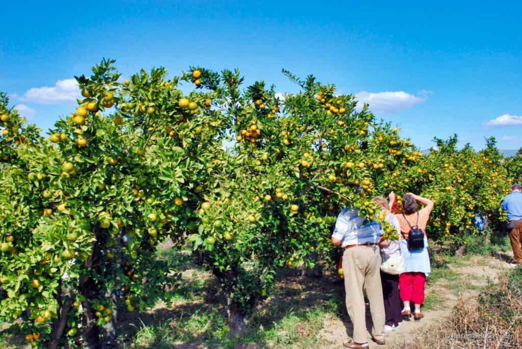 Mandarinenernte in Kroatien 45