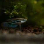 Sparkling Gourami 101: Care, Diet, Tank Size, Tank Mates, and More
