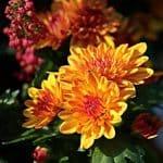 November birth flower chrysanthemums