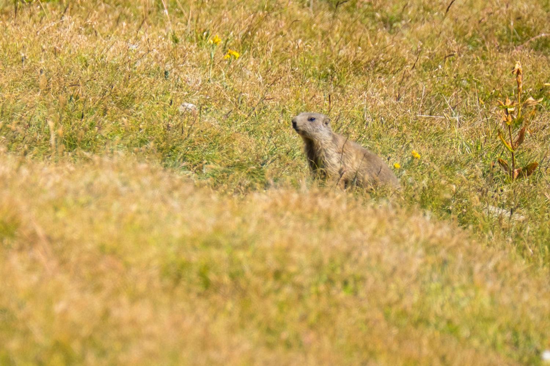Junges Murmeltier im Gras