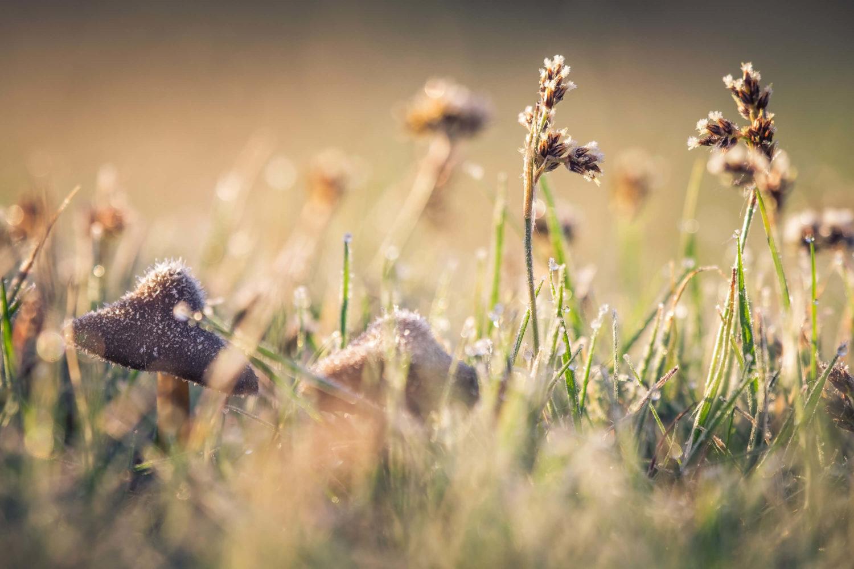 Pilze in Wiese mit Tautropfen