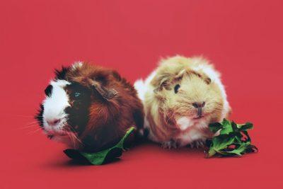 boutique cochon d'Inde animalerie en ligne