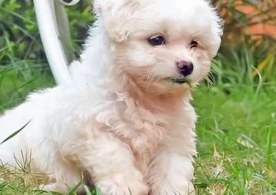 MaltesedogsMorkies