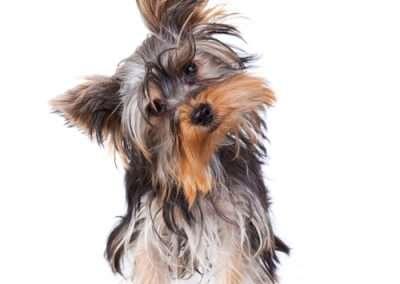 Yorkie Yorkshire Terrier looking quizzical