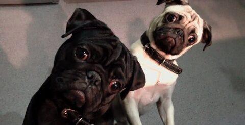 Мопсы #3   Приколы с мопсами  Смешные мопсы   Pugs   Fun with pugs   Funny Pugs