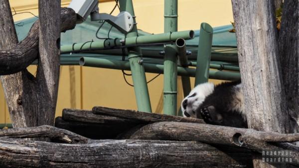 Pandy w ZOO w Wiedniu - Austria