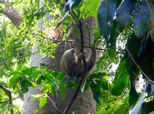 Sloths hang out high up in trees where they're hard tos see