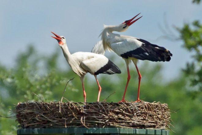 Baltsende ooievaars op nest fotograaf Henk de Vos