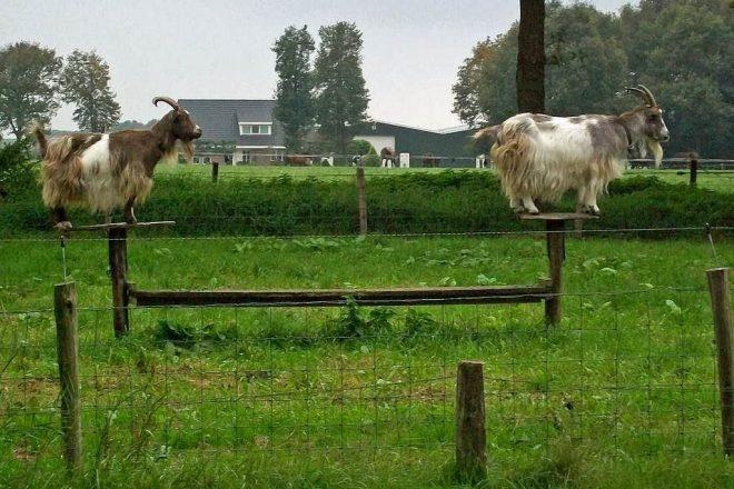 Twee geiten op plank kijkend in de verte fotograaf Jaap Roos