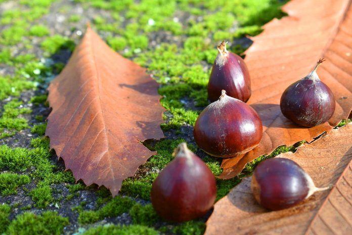 Naturaleza en otoño: castañas y hojas secas