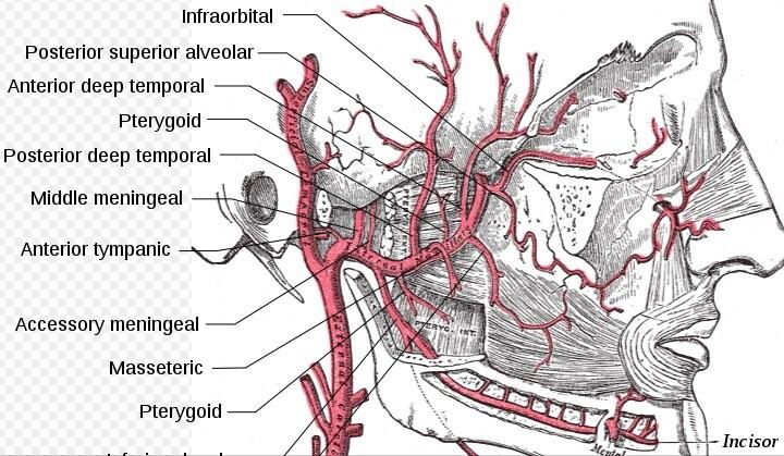 maksiller arterin dalları