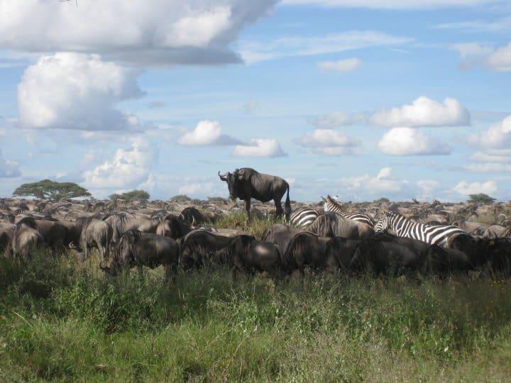 wildebeest migration - Stripegnu