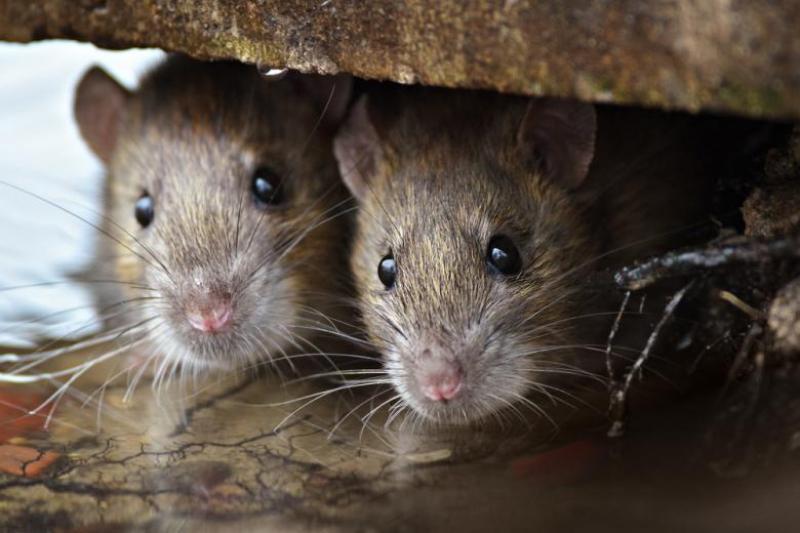 Se débarrasser des rats, souris, fouine ? SOS Nuisibles 85 est Le Spécialiste de la dératisation partout en Vendée.