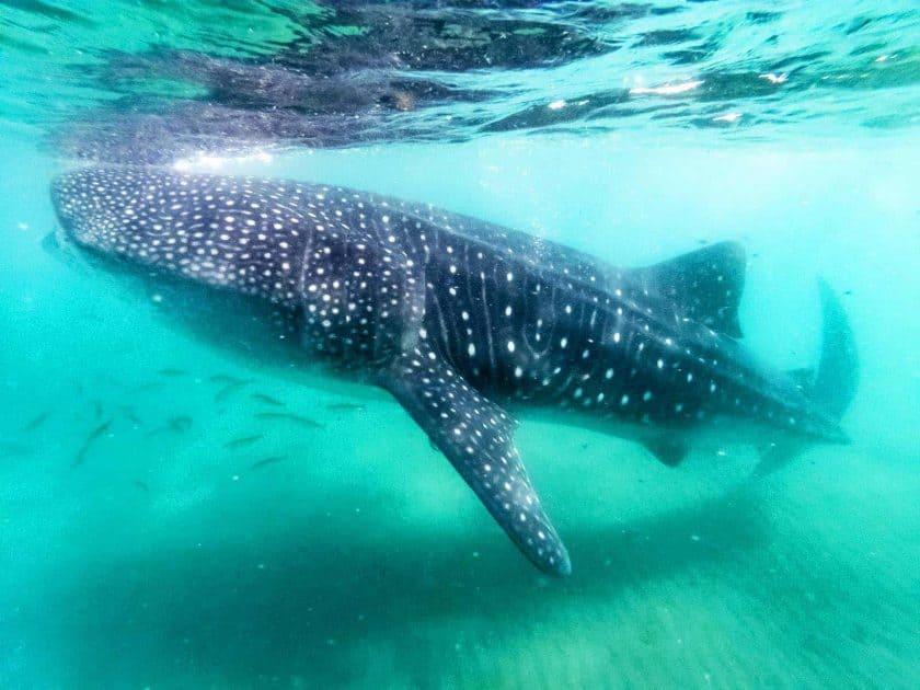 Aktivitäten in Cancun, Mexiko - Schwimmen mit Walhaien