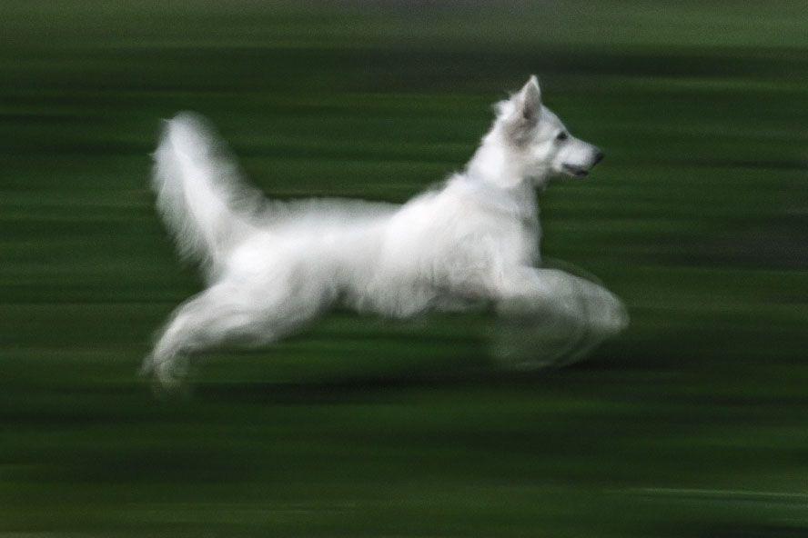 El perro blanco. copia única