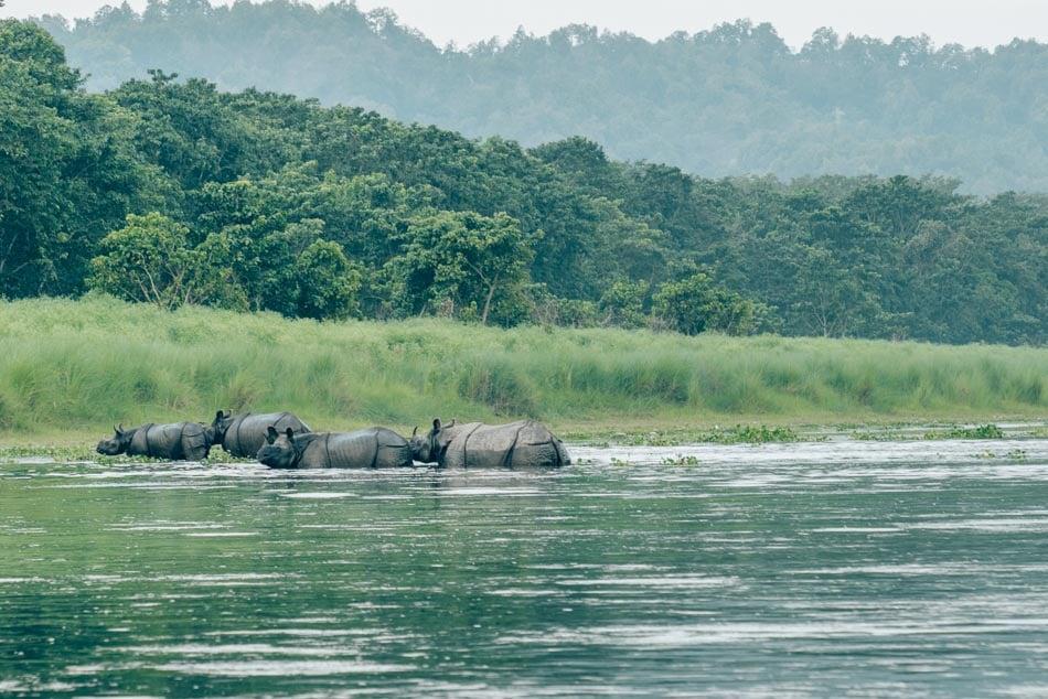 Rhinoceros family bathing in the river outside Chitwan National Park, Nepal