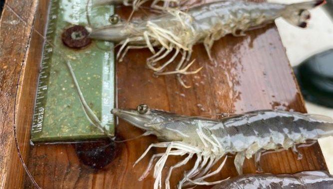Shrimp Fishery Grows in Elizabeth Rivershed