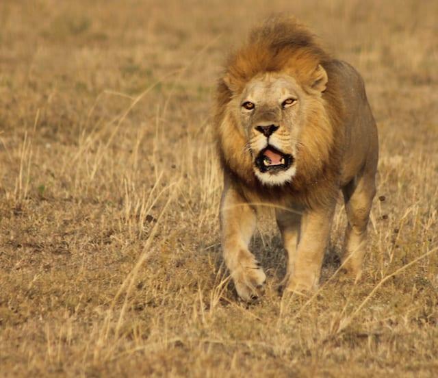 Tipps Afrika-Reise Löwen sehen