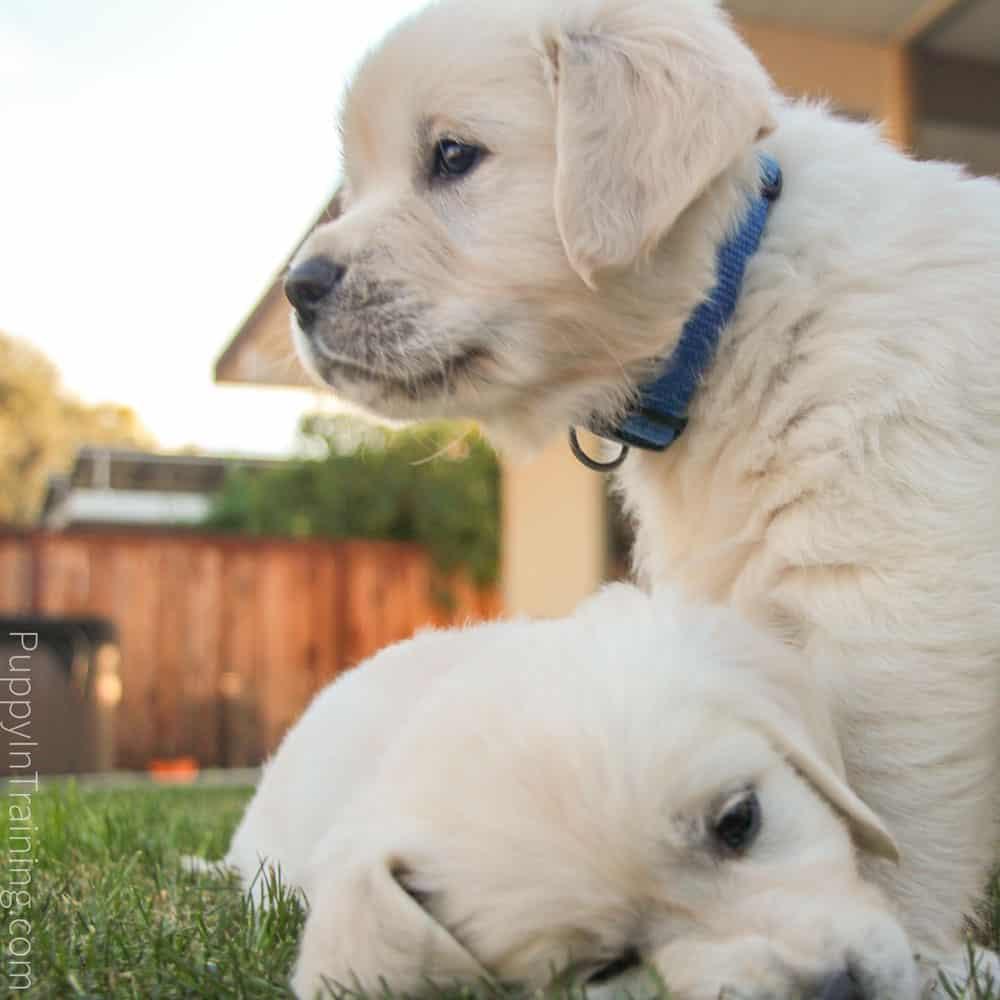 English Cream Golden Retriever Puppies Growth And Development Week 7