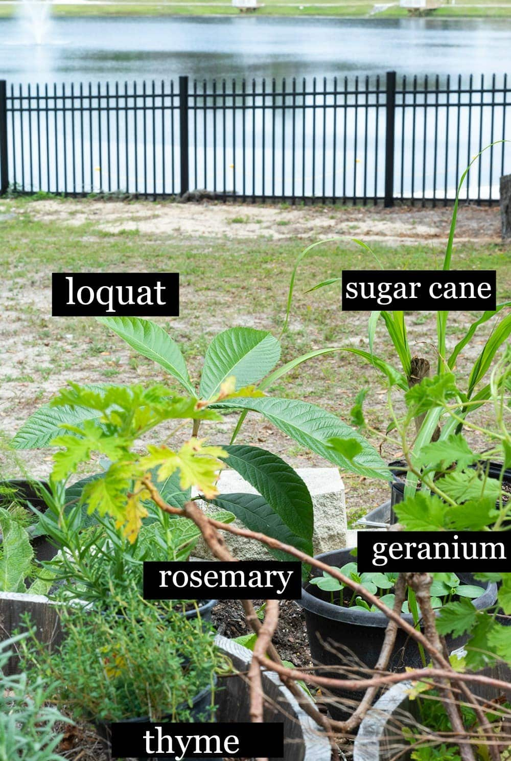 Loquat plant in garden next to sugar cane, rosemary, geranium and rosemary