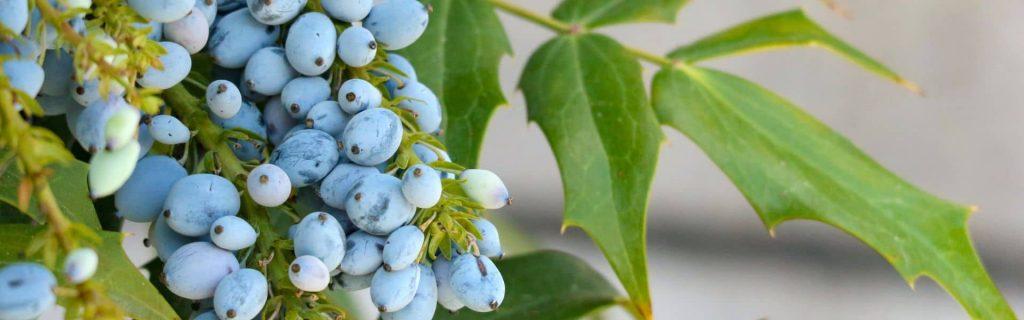 """mahonia aquifolium, natural eczema and psoriasis treatments"""