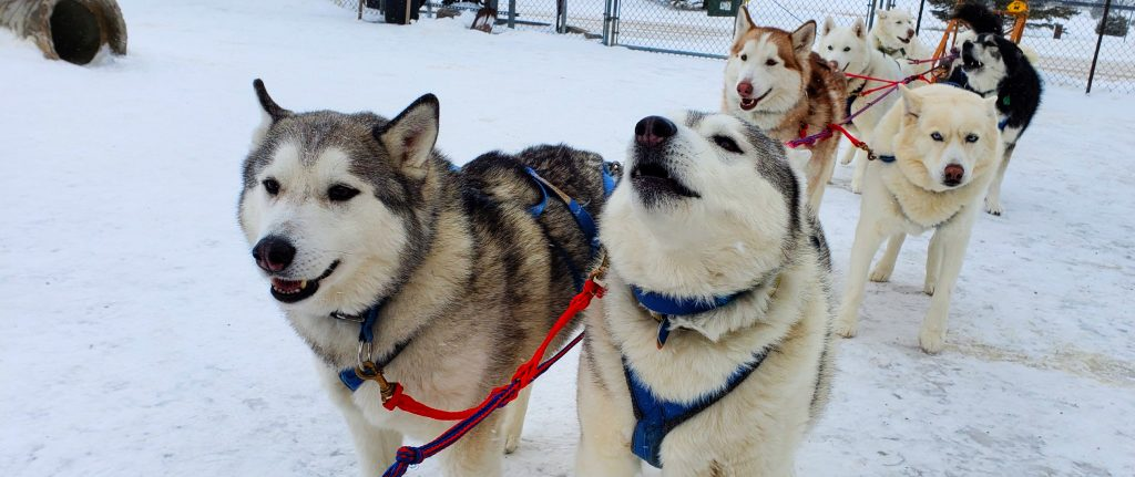 Two Siberian Huskies stand side-by-side on harness line at Siberian Outpost