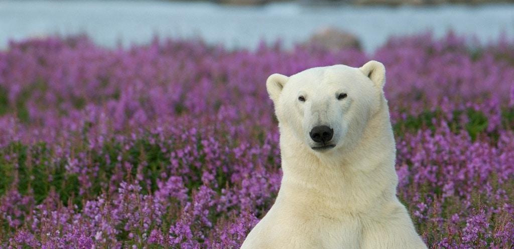 Best Time to Visit Churchill Manitoba for Hudson Bay Polar Bears