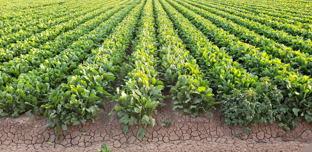 rows of leafy green vegetables disappear into the horizon
