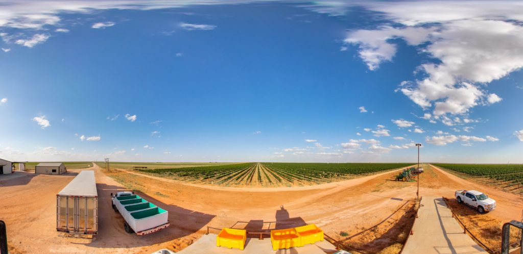 flat fields of rows of grapes growing in Texas disappear into the horizon