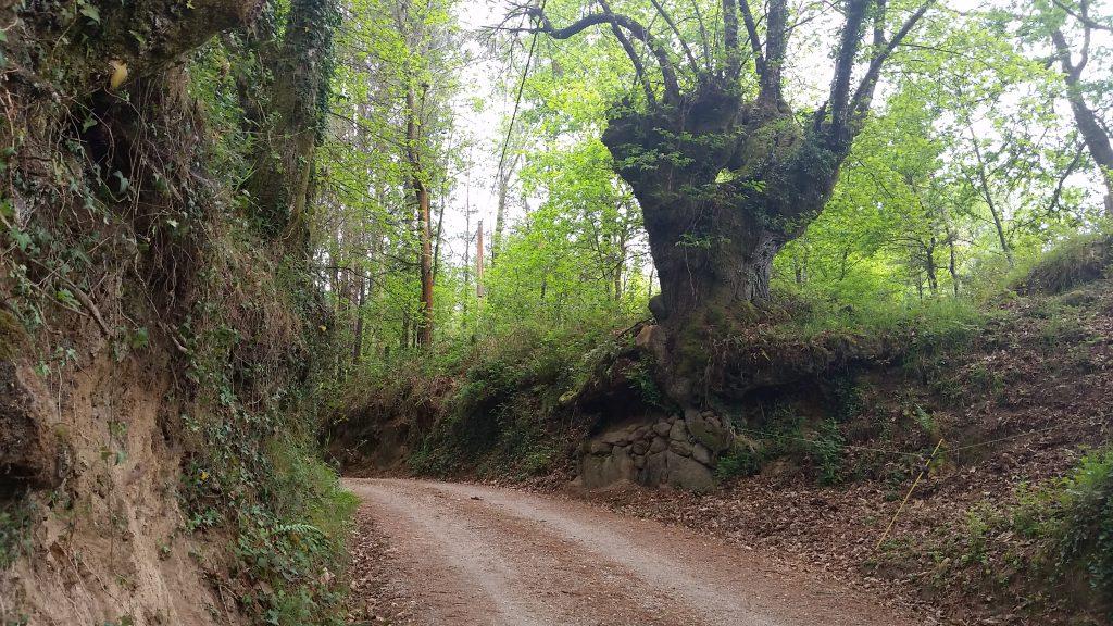 Ancient tree next to old dirt road near Camino Primitivo