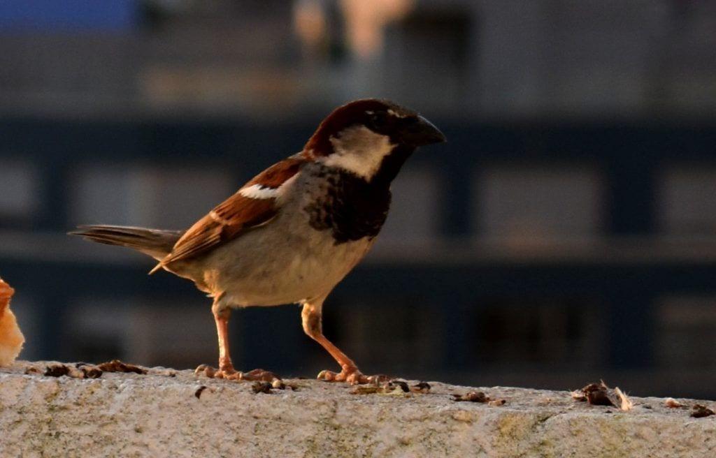 Gorrión, pájaro común