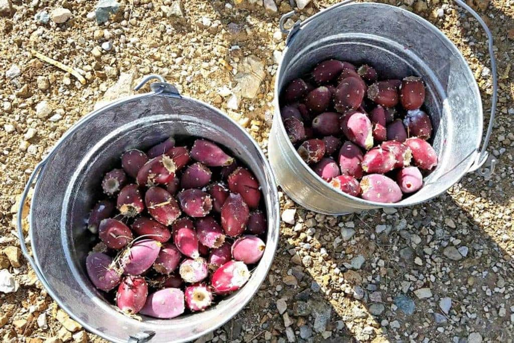 Buckets of prickly pears