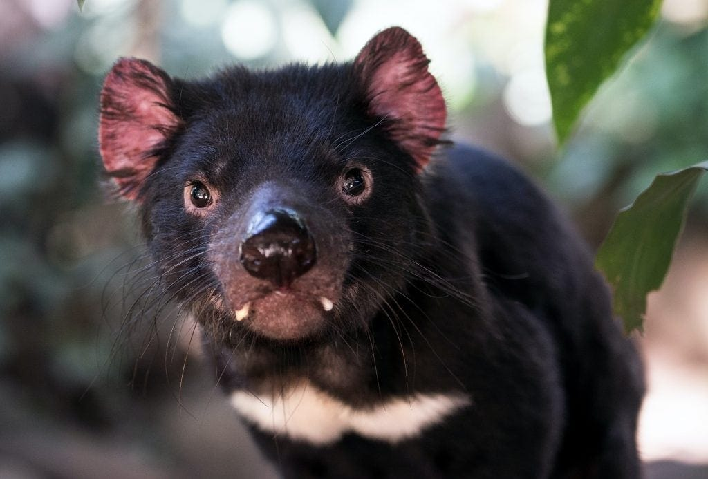 close up of Tasmanian devil - a small animal that looks a bit like a young Black bear with ugly white fangs. things to do in Albuquerque New Mexico.