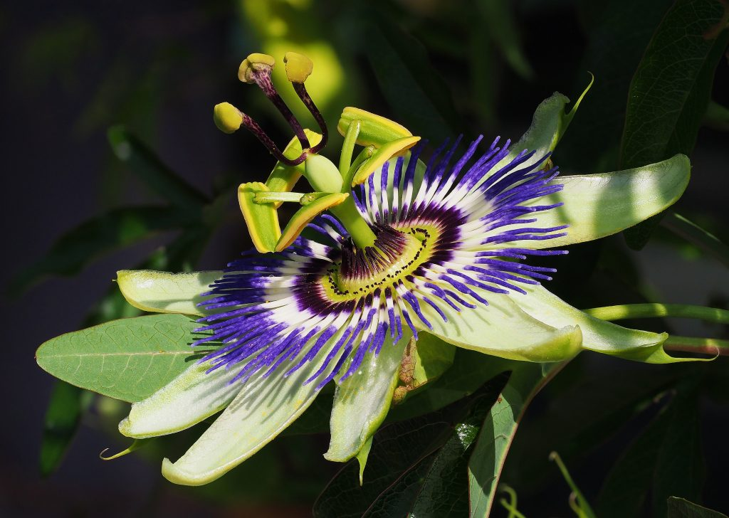 close up of passionfruit flower showing parts of the flower and purple pedals