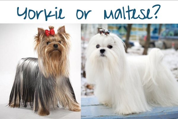 yorkie or maltese which one is right for you
