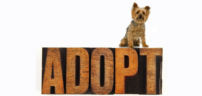 Should I rescue a Morkie from a shelter?