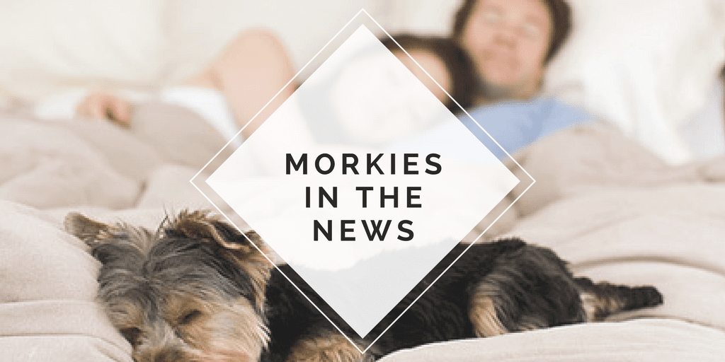 Morkies in the news
