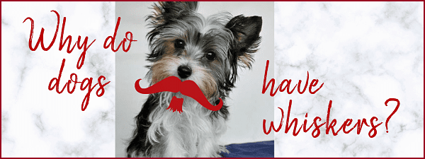 Why do dogs have whiskers?