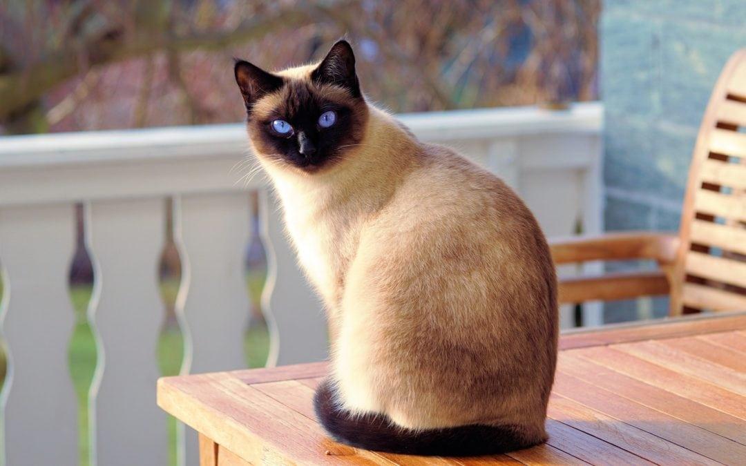 feline leukemia virus - siamese cat