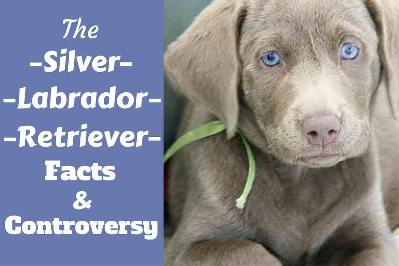 A lying silver labrador retriever puppy looking into camera