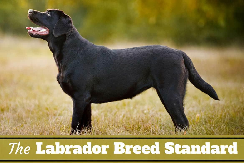 Labrador breed standard written below side view of a perfect black lab