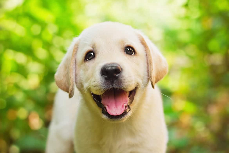 A smiley yellow labrador puppy face
